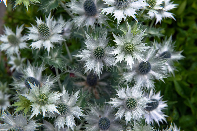 Download Small white pointy flowers stock image. Image of thistle - 6237115