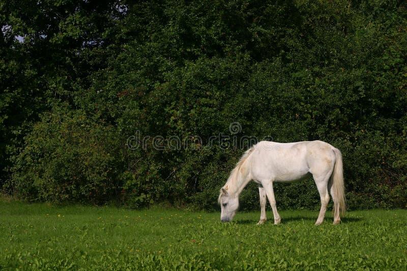 Small white pony stock image
