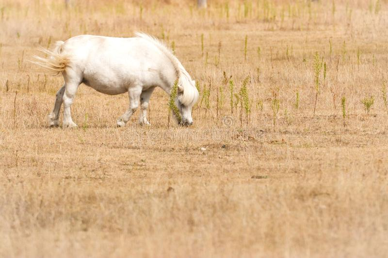 Small white pony on pasture royalty free stock image