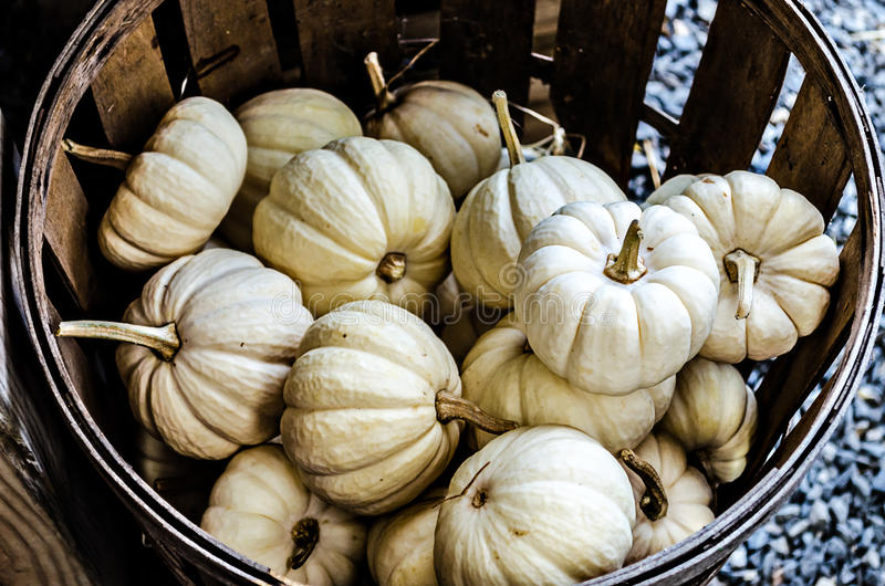 Small White Pumpkins in Basket royalty free stock photo
