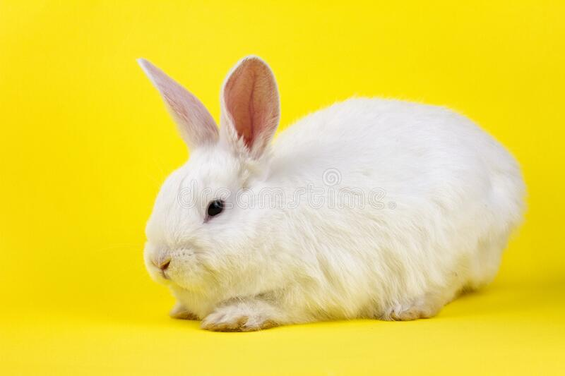 A small white rabbit on a pastel yellow background, an Easter Bunny for Easter royalty free stock images