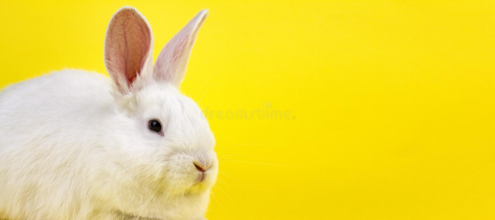 A small white rabbit on a pastel yellow background, an Easter Bunny for Easter royalty free stock photography