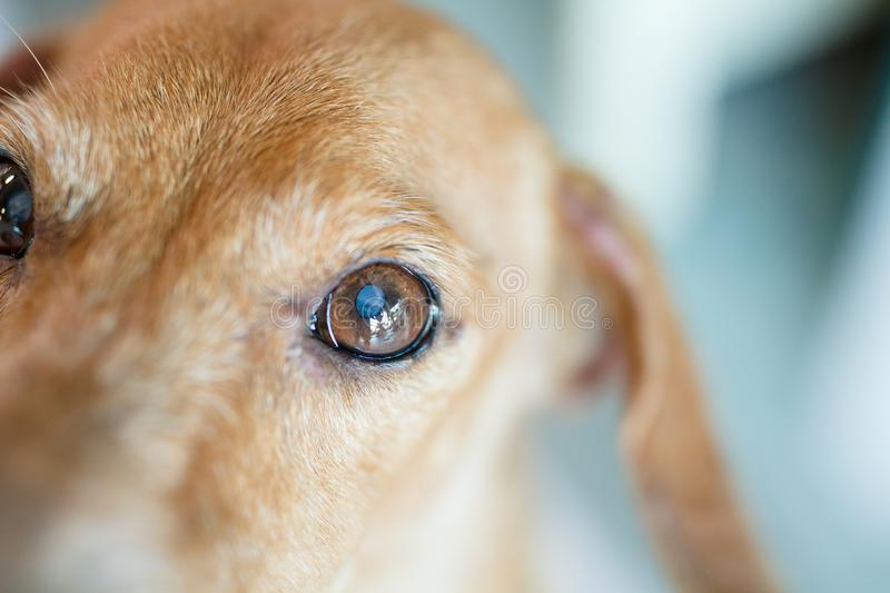 Small white spot on the dog`s eyes. Close up small white spot on the dog`s eyes. This is type of Eye disease in dogs call Lenticular nuclear sclerosis or royalty free stock images