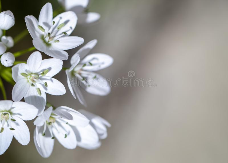 Small white spring flowers royalty free stock photography