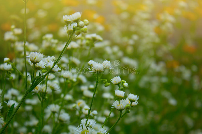 Small white summer flowers stock photo image of natural 60421010 download small white summer flowers stock photo image of natural 60421010 mightylinksfo