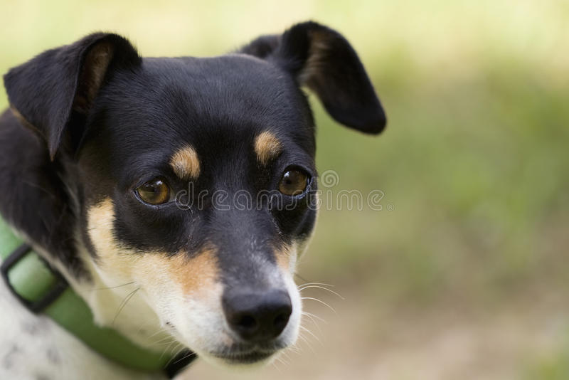 Download Small White Terrier With Black Face Stock Photo - Image: 14855654