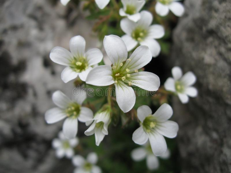 Small white wild flowers on rock close up spring nature background stock image