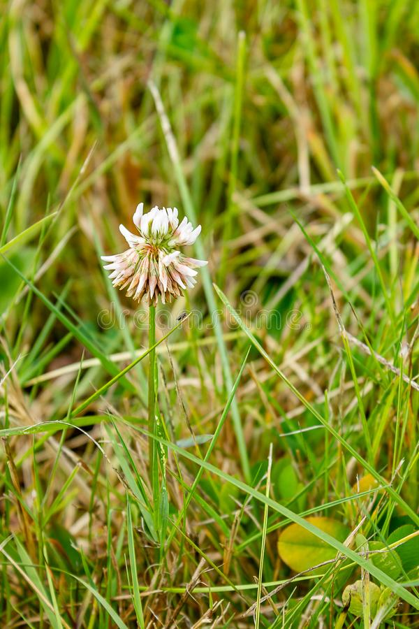 small white wildflower growing alone in grass royalty free stock photography