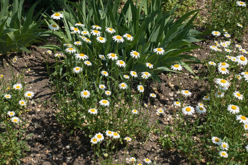 Small white and yellow flowers of daisy royalty free stock photo