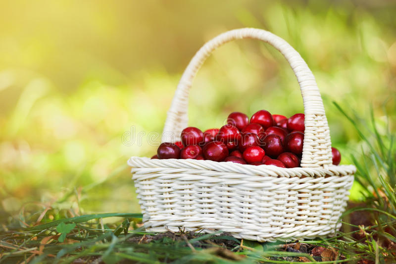 A small wicker hand basket full of ripe cherry in the sun light stock image