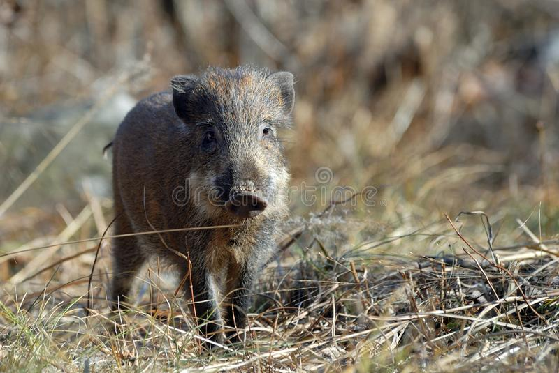 A small wild boar. Began a shuttle back and forth between withered grass stock images