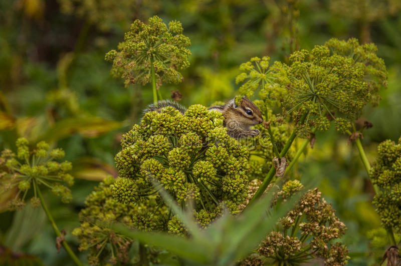 Small wild chipmunk sitting on the angelica plant. And eating seeds, wildlife nature. Close up side view photo royalty free stock photos