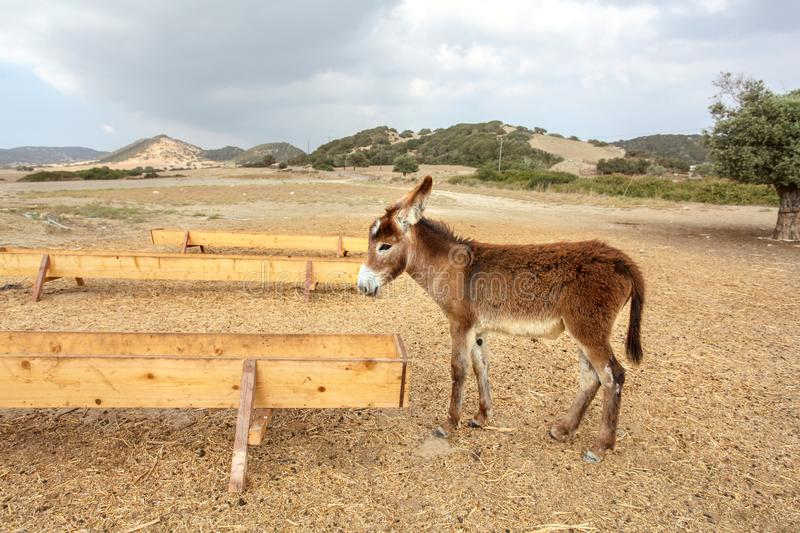Small wild donkey near food / water channel flume. Animals are roaming freely in Karpass region of Northern Cyprus.  stock images
