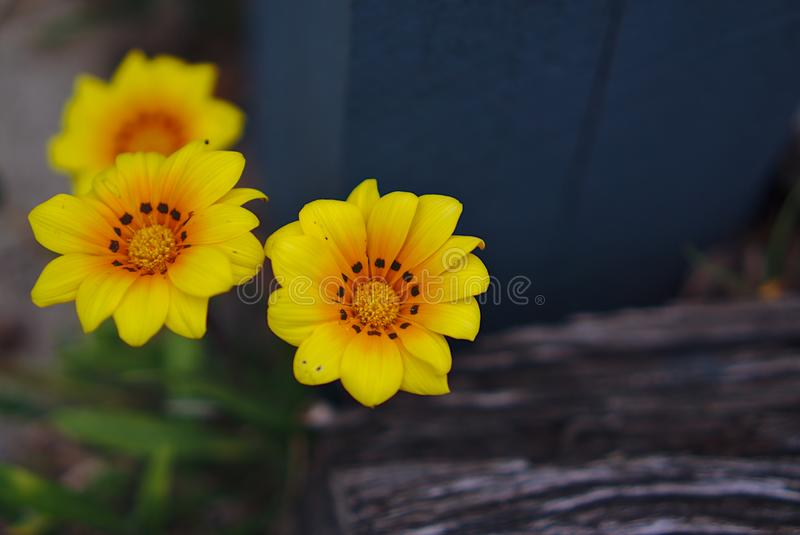 Small wild yellow flowers royalty free stock photo