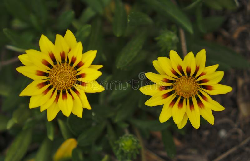 Small wild yellow flowers royalty free stock image