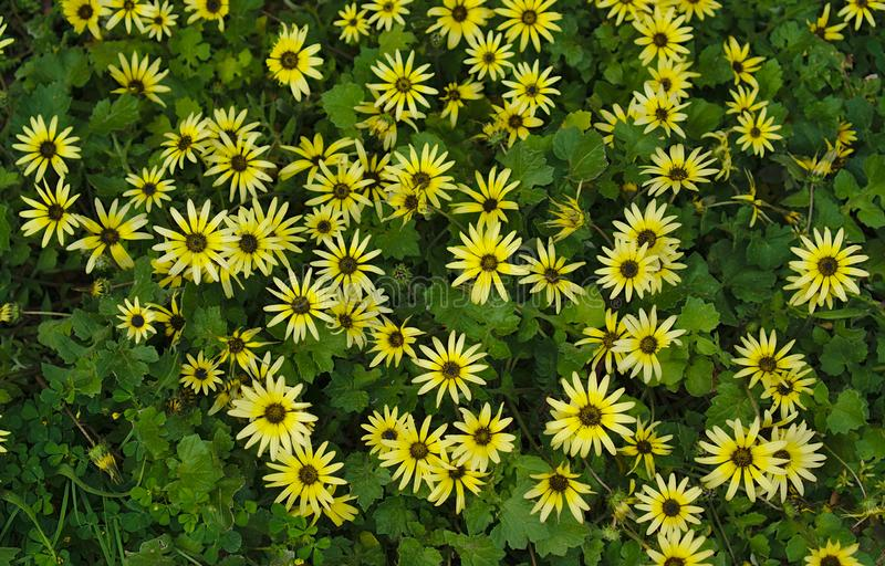 Small wild yellow flowers royalty free stock photography