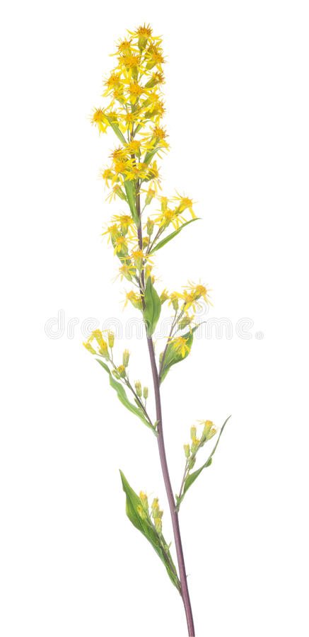 Small wild yellow flowers on long stem stock photo image of plant download small wild yellow flowers on long stem stock photo image of plant leaf mightylinksfo
