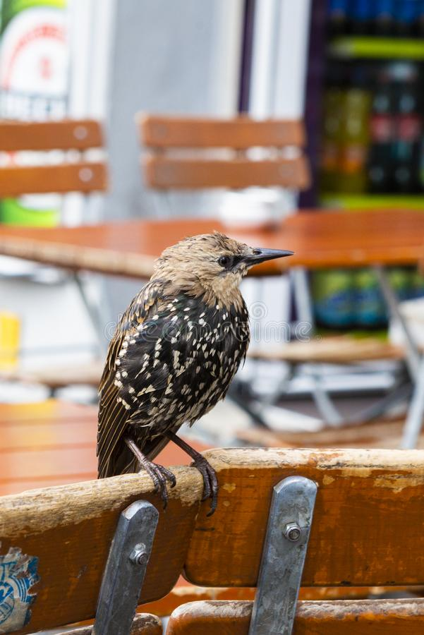 Small wildlife bird siting on a chair. Small wildlife bird siting on the chair of a terrance royalty free stock images