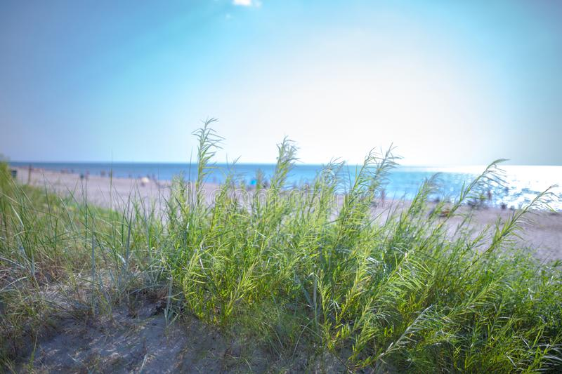 Small willow tree in green grass on sandy beach of the Baltic sea. Seaside resort at warm summer day on Baltic sea. Small DOF. Photography at open aperture stock images