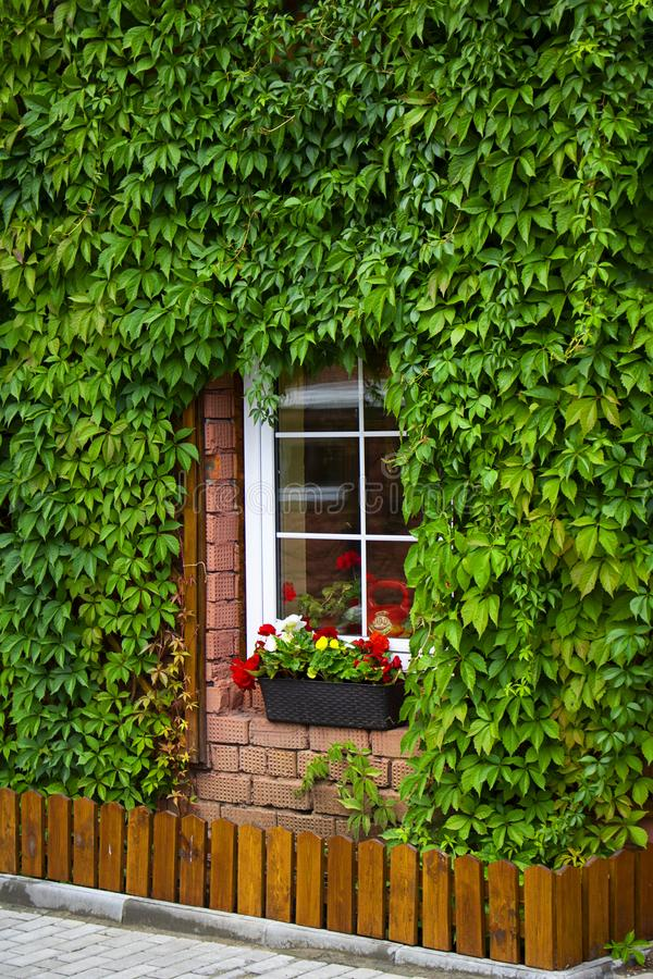 Small window with white frame and wall of the house entwined with green leaves around windows. Long pot with flowers on stock images