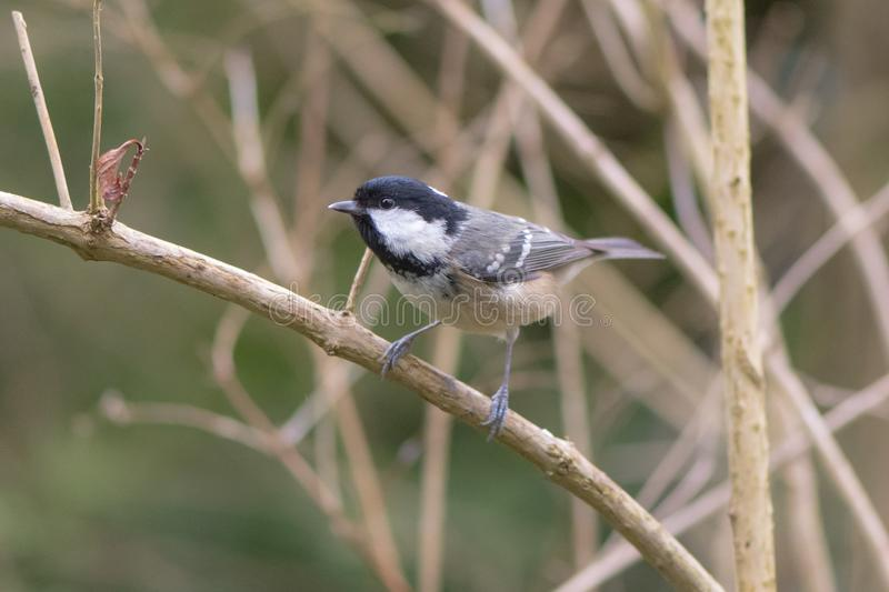 Coal tit & x28;Periparus ater& x29; perching on branch, in profile. Small woodland bird in the family Paridae, perching showing small beak adapted to collect stock image