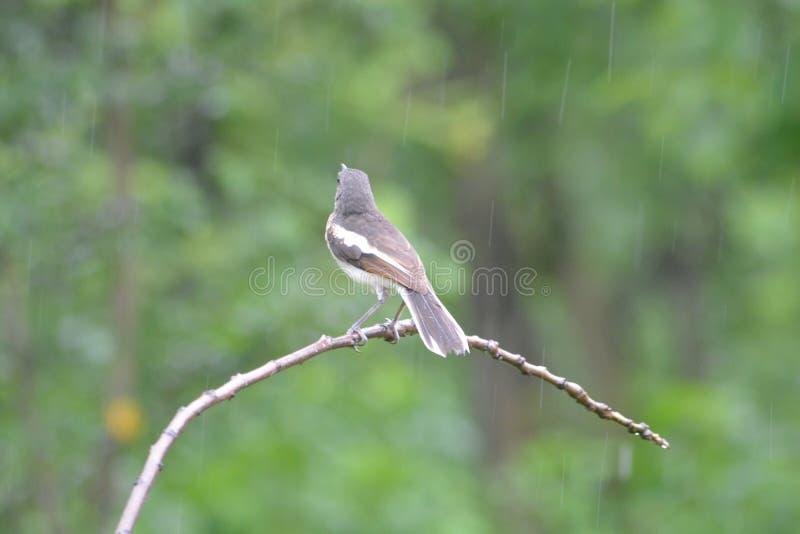 Bird in Rain. A small word in rain, Himachal Pradesh - India royalty free stock image
