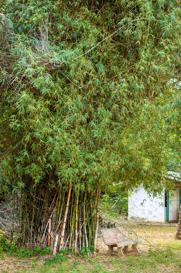 Bamboo bush in the park. Small yellow bamboo bush in the park royalty free stock images