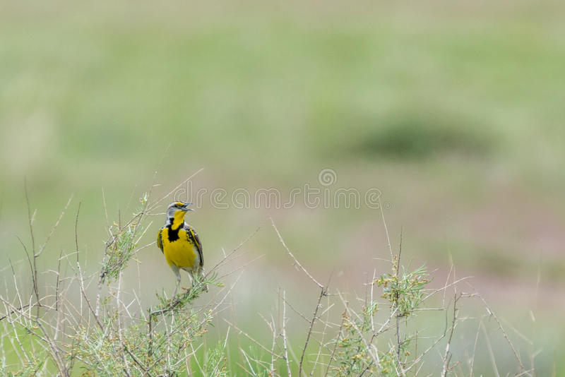 Small yellow black grey bird. Small yellow bird with black and grey markings perched on a branch twig in green grass field stock image