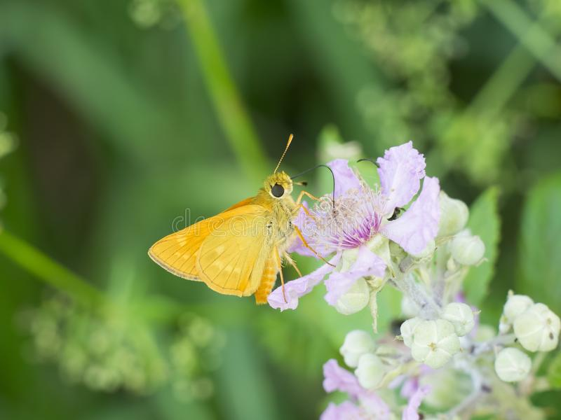 Small yellow butterfly sucks nectar  from a blackberry flower. Small yellow butterfly sucks nectar with trunk from a blackberry flower royalty free stock image