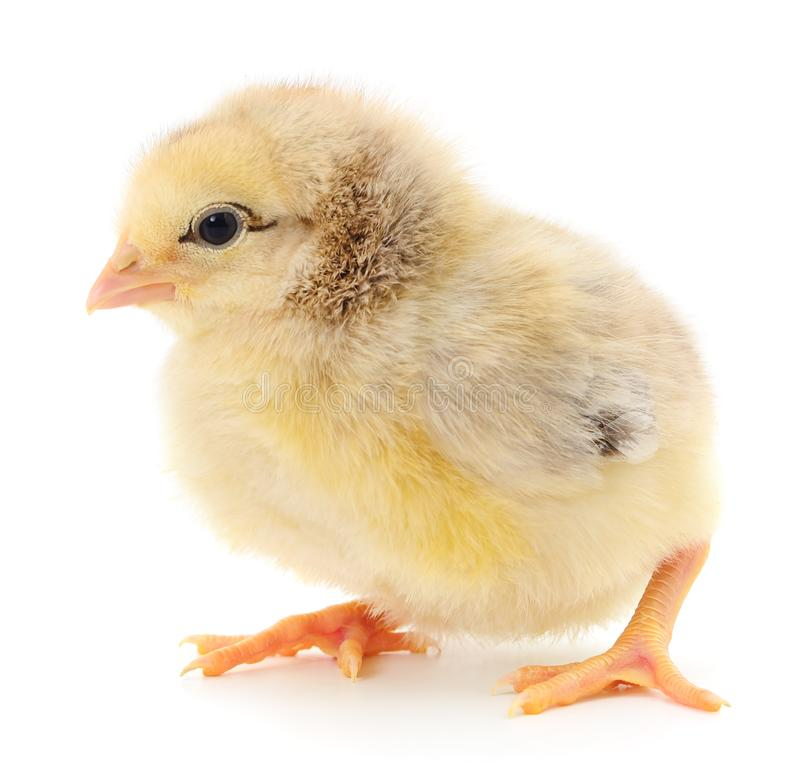 Small yellow chicken royalty free stock photos