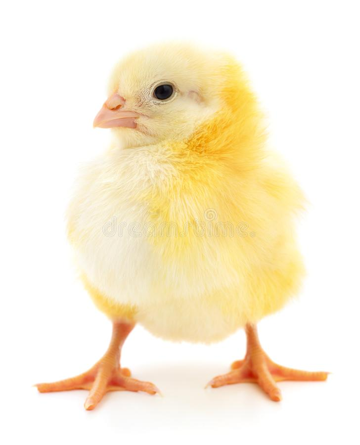 Small yellow chicken stock image