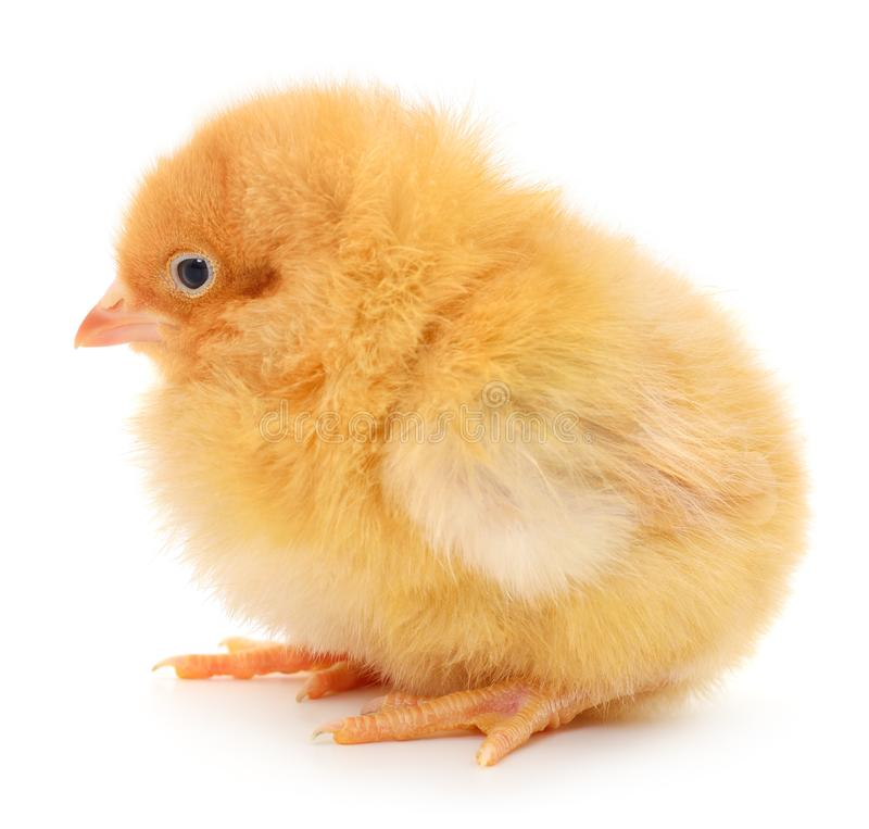 Small yellow chicken stock photography