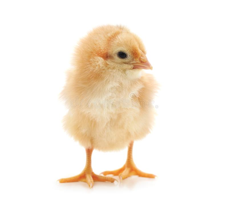Small yellow chicken royalty free stock photography