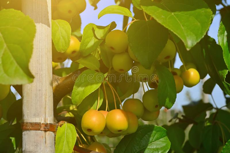 Small, clean, apples apple pollinator on branches. Small, yellow. clean apples apple pollinator on branches stock photos