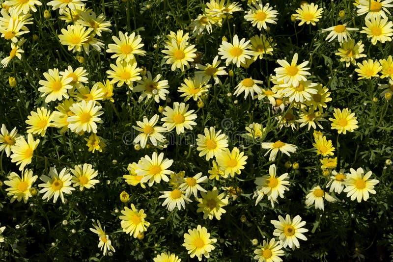 Small yellow daisy type flowers stock photo image of yellow download small yellow daisy type flowers stock photo image of yellow flower mightylinksfo
