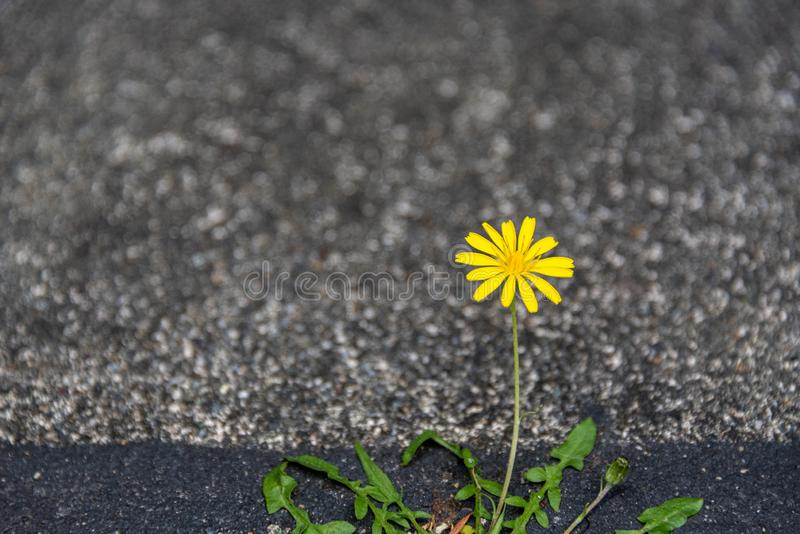 Small yellow dandelion growing and blooming with determination in a crack between asphalt and concrete royalty free stock photos