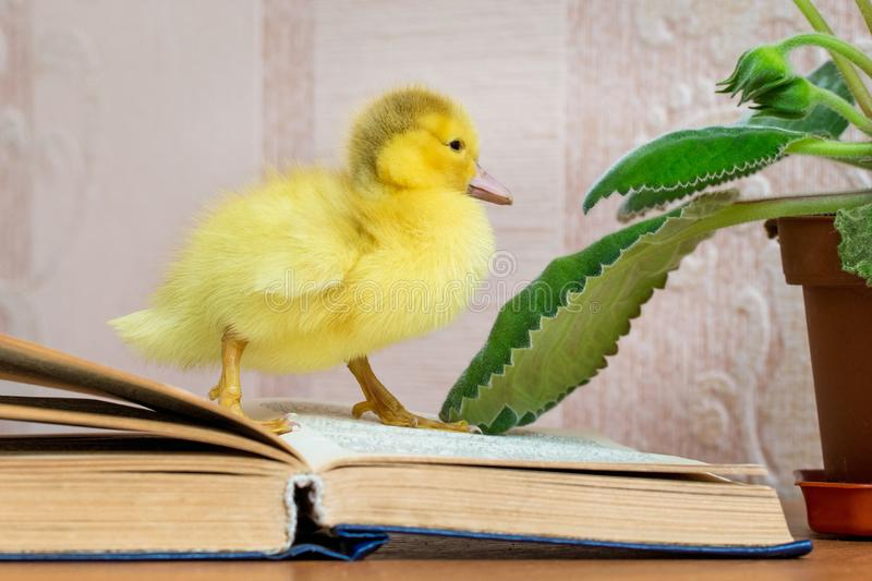 A small yellow duck near the open book. Reading fiction_ stock photography