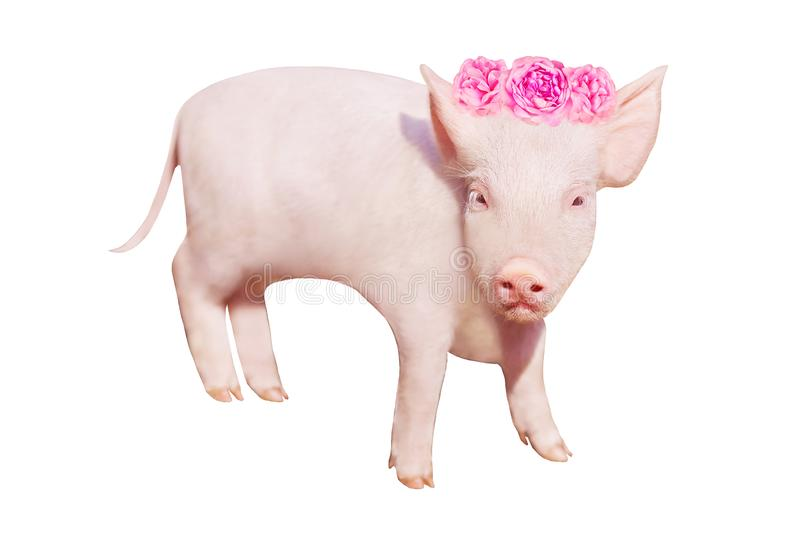 Small yellow earth pig isolated on white background. White little piglet. Symbol of the Chinese New Year. Piglet with rose flowers stock photos