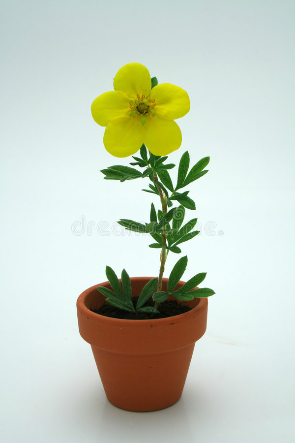 Small yellow flower royalty free stock image