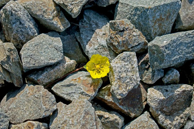 A small yellow flower rose among the stones stock photos