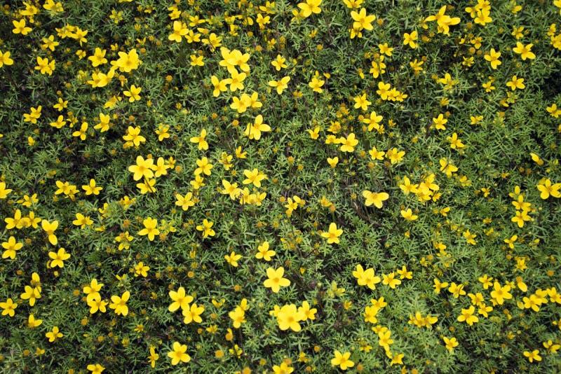 SMALL YELLOW FLOWERS / BIDENS FERULIFOLIA stock photos