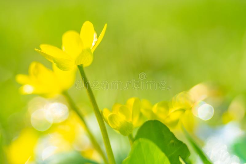 Small yellow flowers grow in a sunny meadow. Lesser celandine, buttercup family stock photography
