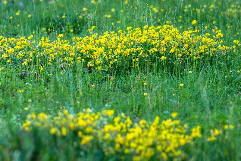 Small yellow flowers growing in a bunch through grass stalks. Meadow grass close-up, small yellow flowers growing in a bunch through grass stalks; bright yellow royalty free stock images