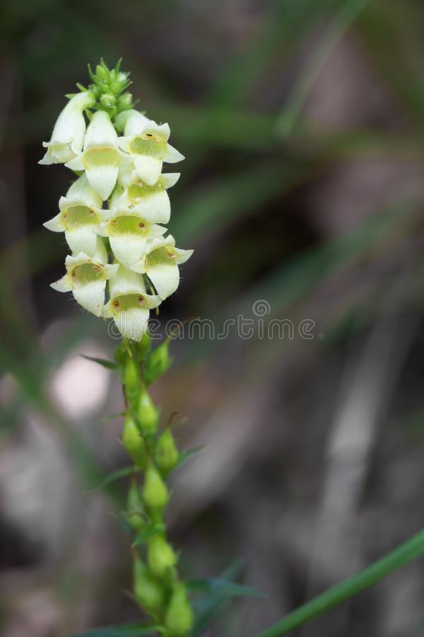 Free Small Yellow Foxglove Aka Straw Foxglove, Digitalis Lutea, Growing Wild In The Apuan Alps, Italy. Detail. Royalty Free Stock Images - 152606709