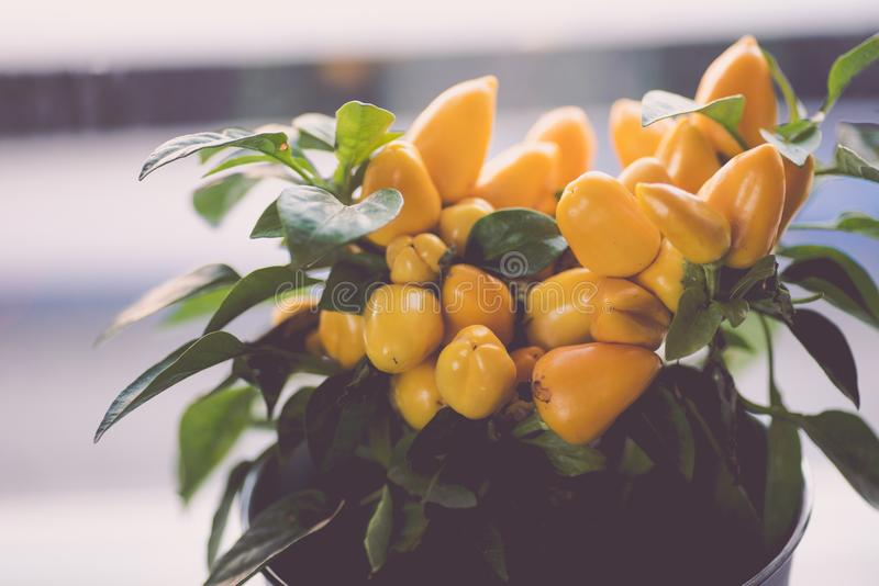 Small yellow hot peppers bush in a white pot stock image