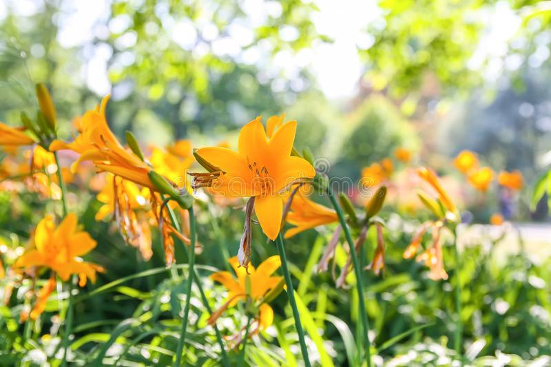 Lily plants in bloom in spring park. Small yellow lily flowers in spring park. Beautiful plants in soft sunlight stock images