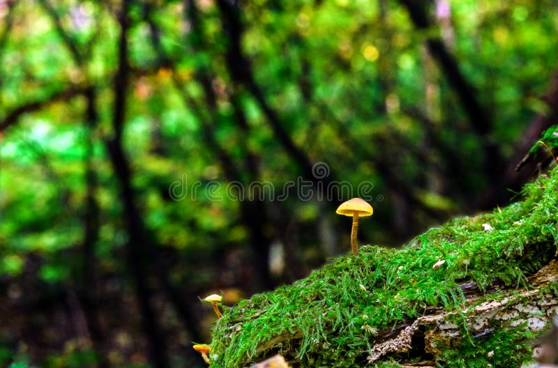 Little fungus growing in green moss at summer forest. Small yellow mushrooms in enchanted forest. Little fungus growing in green moss. Tiny toadstool in summer stock images