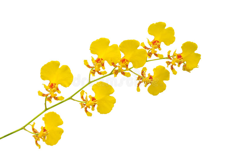 Small yellow orchid. Flower isolated on white background royalty free stock photos