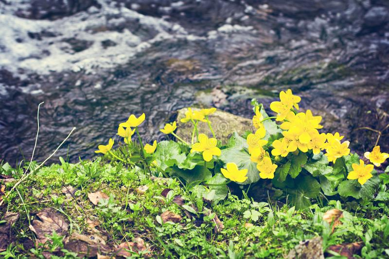 Small, yellow spring flowers in the mountains. stock image