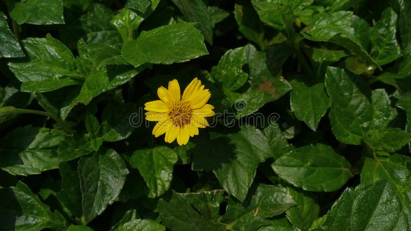A small yellow sunflower. Green, leafs stock images